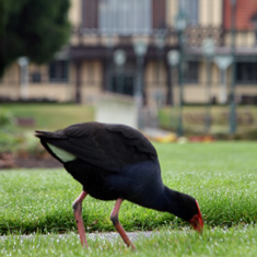 Pukeko at government gardens. Rotorua attractions